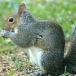 Gray Squirrel — Stock Photo #6312048