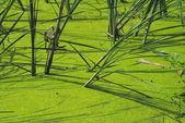 Algae Covered Pond — Stock Photo