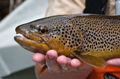Close up of a brown trout after being caught — Stock Photo