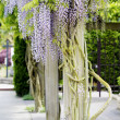 Beautiful, elegant purple wisteria flowers cascading off trellis — Stock Photo