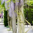 Beautiful, elegant purple wisteria flowers cascading off trellis - Stock Photo