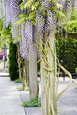 Beautiful, elegant purple wisteria flowers cascading off trellis — Stock Photo