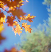 Fall trees against the blue sky. — Stock Photo