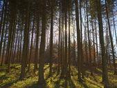 Sunbeam i skogen — Stockfoto