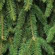 Stock Photo: Fresh Green Fir Twig Needle Background