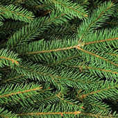 Fresh Green Fir Twig Needle Background — Stock Photo