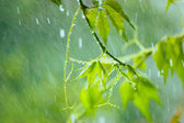 Virginia Creeper in Rain, Gentle Bokeh, Large Closeup — Stock Photo