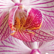 Pink moth orchid phalaenopsis macro closeup - Stock Photo