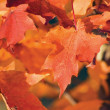 Acer grandidentatum Nutt. bigtooth maple closeup In Autumn — Stock Photo