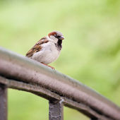 Sparrow Bird (Passer domesticus) On Bridge Rail Closeup — Stock Photo