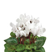 Soft White Cyclamen Closeup, Isolated Macro — Stock Photo