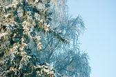 Nieve nueva en ramas de árboles de abeto en la mañana de invierno — Foto de Stock