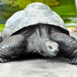 Old giant turtle - Stock Photo