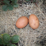 Fresh Laid Eggs — Stock Photo
