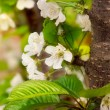 Cherry flower in spring - Stock Photo