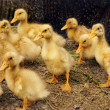 Little yellow ducklings — Stock Photo #5637626