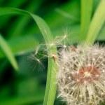 Blow dandelion — Stock Photo