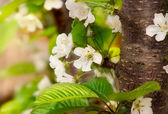 Cherry flower in spring — Stock Photo