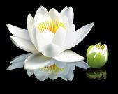Bud y flores de nenúfar blanco — Vector de stock