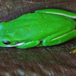 Green tree frog - Foto de Stock