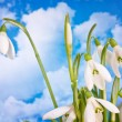 Beauty spring white snowdrop nature flower plant — Stock Photo