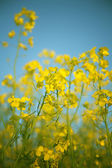 Rapeseed in bloom — Stock Photo