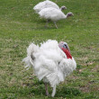 Stock Photo: White turkeys male and females