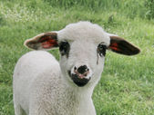 Lamb close up — Photo