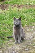 Kot niebieski — Zdjęcie stockowe