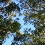 Eucalyptus Trees — Stock Photo