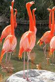 Group of Flamingos — Stock Photo