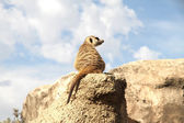 Relaxed Meerkat — Stock Photo