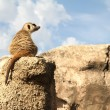 Relaxed Meerkat — Stock Photo #6522546