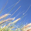 Wild grass on the blue Sky - Stock Photo