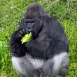 A western lowland silver back male gorilla — Stock Photo