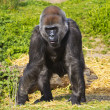 A western lowland female gorilla — Stock Photo