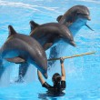 Bottlenose Dolphins performing — Stock Photo #5534019