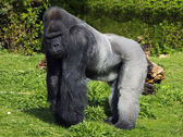 A large male silver back western lowland gorilla — Stock Photo