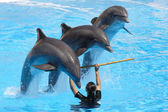 Bottlenose Dolphins performing — Stock Photo
