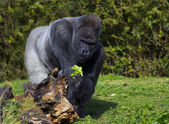 A large silver back male western lowland gorilla — Stock Photo