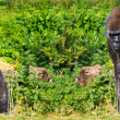 Two western lowland female gorillas — Stock Photo