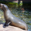 Female califonian sealion (Zalophus californianus) - Stock Photo