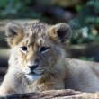 Asiatic lion cub (Panthera leo goojratensis) — Stock Photo