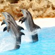 Bottlenose Dolphins performing - Stock Photo