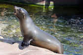 Female califonian sealion (Zalophus californianus) — Stock Photo