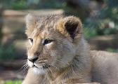 Asiatic lion cub — Stock Photo
