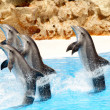 Bottlenose Dolphins performing tail stands in show — Stock Photo #5869718