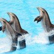 Three bottlenose dolphins ( Tursiops truncatus) — Stock Photo #5869719