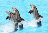 Three bottlenose dolphins ( Tursiops truncatus) — Stock Photo