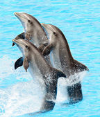 A group of bottlenose dolphins (Turisops Truncatus) — Stock Photo